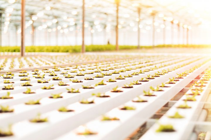 Image shows a bright greenhouse with a large number of lettuce seedlings.