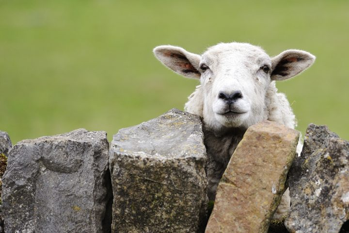 Image shows a single sheep peeping over a dry stone wall