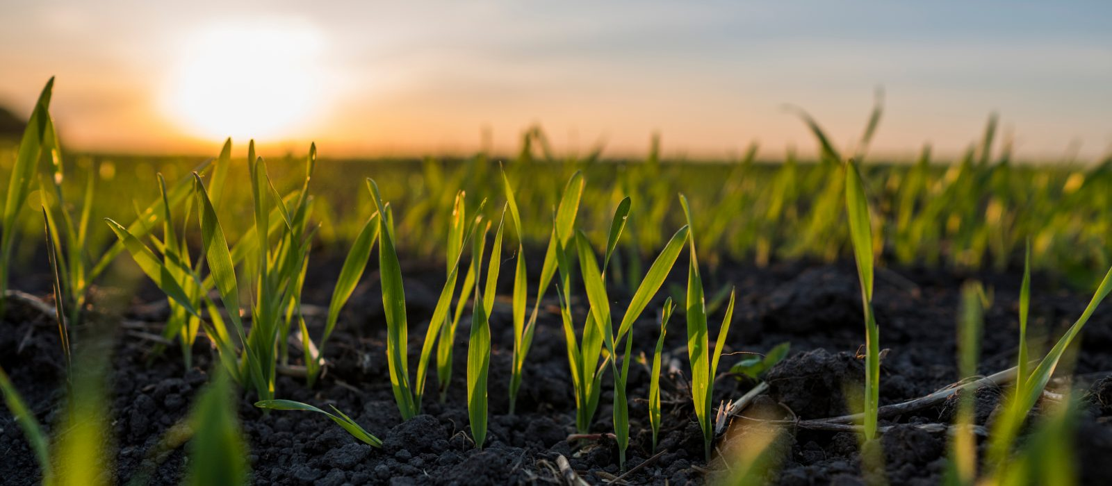 Image shows young wheat seedlings growing in a field